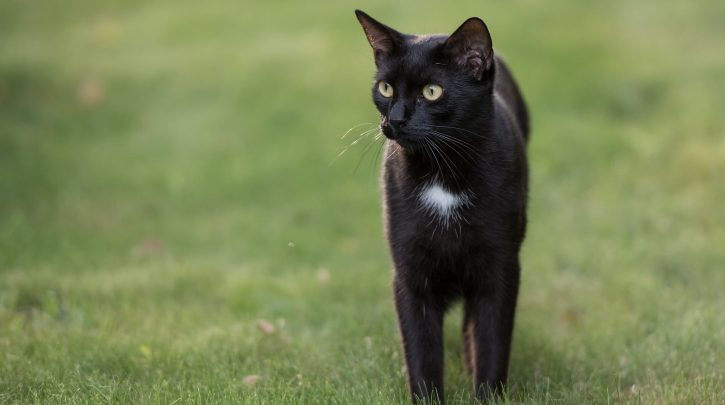 You Can Get +800 Odds on the MetLife Black Cat Appearing Again in 2019